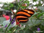 Dryadula phaetusa (Costa Rica)  Naturospace Honfleur