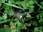 l'Epeire fasciée (Argiope bruennichi Scopoli)
