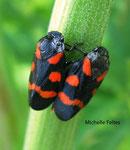Cercopes rouge-sang (Cercopis vulnerata)