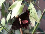 Parides photinus (Costa Rica)  Naturospace Honfleur
