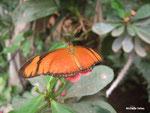 Dryas julia (Guyane)   Naturospace Honfleur