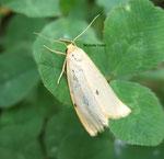 Ecaille éborine (Cybosia mesomella L.)