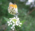 Aurore mâle (Anthocharis cardamines L.)