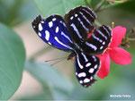 Papilio Myscelia cyaniris (Costa Rica)  Naturospace Honfleur