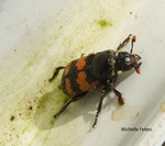Nécrophore fureteur (Necroforus vespillo L.)