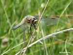 libellule à 4 taches (Lubellula quadrimaculata) Auvergne