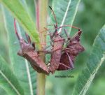 Corées marginées (Coreus marginatus)