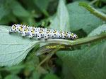 Chenille de la Brèche ou Cucullie du Bouillon-blanc (Shargacucullia verbasci L.)