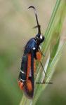 Saisie du bouleau (Conopia scoliaeformis)