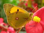 Solitaire (Colias palaeno L.)