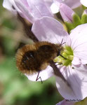 Grang Bombyle (Bombylius major L.)