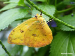 Phoebis philea (Costa Rica)  Naturospace Honfleur