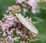 Lithosie plombée (Eilema lurideola)