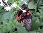 Papilio rumanzovia mâle (Philippines)  Naturospace Honfleur