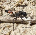 Ammophile des sables (Ammophila sabulosa L.) Fort Mahon