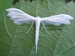 Ptérophore blanc (Pterophorus pentadactylus)