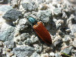 Taupin (Ampedus  sangineus)