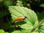 Blatte lapone (Ectobius lapponicus)