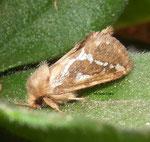 Louvette (Korscheltellus lupulinus)