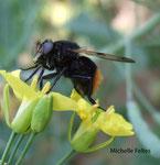 Volucelle bourdon (Volucella bombylans)