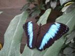 Morpho achilles (Guyane)   Naturospace Honfleur