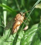 Rhagio tringarius L. femelle