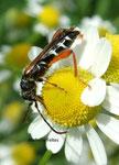 Longicorne (Molorchus minor)
