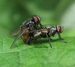 Mouches à damier, mouches grises de la viande (Sarcophaga carnaria)