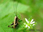 Juvénile de Pholidoptera griseoaptera