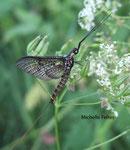 Grande mouche de mai (Ephemera danica Müller)