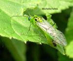 Rhogogaster viridis