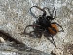 Philaeus chrysops (Camargue)