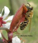 Abeille domestique (Apis melifera)