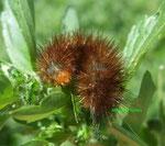 Chenille de l'Ecaille brune (Pericallia matronula L.)