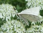 Phalène blanche (Siona lineata)