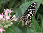 Papilio demoleus (Philippines)
