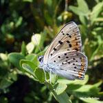cuivré fuligineux (Heodes tityrus Poda)