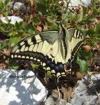 Macaon (Papilio machaon) Camargue