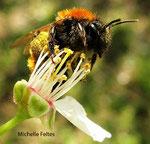 Andrène rousse (Andrena fulva Muller)