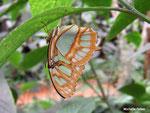 Siproeta steneles (Costa Rica)  Naturospace Honfleur