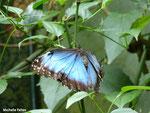 Morpho peleides (Costa Rica)   Naturospace Honfleur