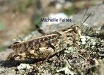 Criquet migrateur (Locusta migratoria)