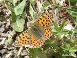 Petit nacré (Issoria lathonia)