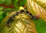Chenille de l'Hibernie défeuillante (Erannis defoliaria L.)