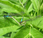 Agrions élégants (Ischnura elegans)