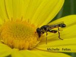 Syritte piaulante (Syrrita pipiens L.)