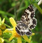 Mélanippe hastée (Rheumaptera hastata)