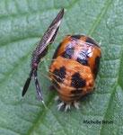 Heterotoma merioptera sur nymphe-Harmonia-axyridis