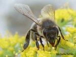 Abeille domestique (Apis mellifera L.)