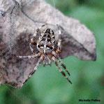 Epeire diadème  ou araignée porte-croix